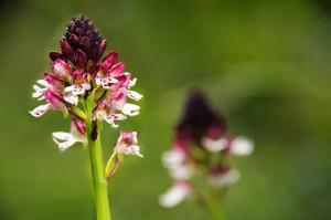 riserva GHIrardi orchide foto GuidoSardella
